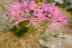Nerine bowdenii aka Cornish lily, Cape flower, Guernsey lily, and Bowden lily, an herbaceous bulbous perennial with large umbels of lily-like pink flowers with frilly tips.