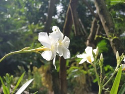 Nerion oleandrum live plant with whiteflower