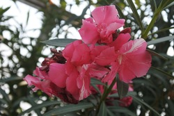 Nerium oleander, commonly known as oleander or nerium, is a fast growing shrub or small tree as subfamily Apocynoideae of the dogbane family Apocynaceae and is cultivated worldwide.