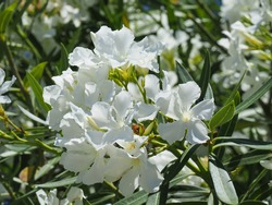Nerium Oleander Toulouse, pure white flowers, close up. Oleander is an ornamental, flowering shrub, perfect for edges, rockery, hedges with many funnel-shaped blossoms. Dogbane family Apocynaceae.