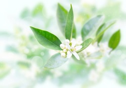 Neroli flowers and buds and green foliage after spring rain on the blurred garden background. Orange tree blossom. Azahar parfum flowering.