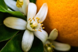 Neroli. Green bright orange tree leaves and orange flower neroli with raindrops, dew background during blossom time in spring