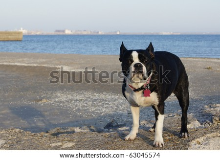 Nervous Boston Terrier left alone on the beach