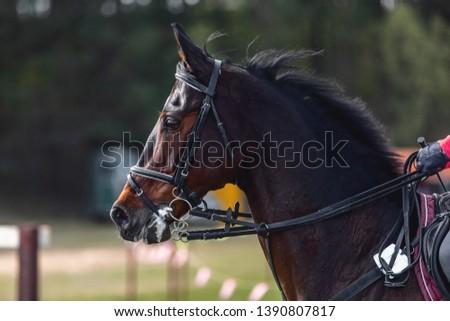 nervous dark sorrel horse waiting start of eventing competition