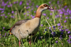 nervous Egyptian goose, Alopochen aegyptiaca, walking through the grass and observing area for possible danger