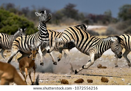Nervous zebras (WILD) - Etosha, national park, Namibia - 08/17/2014. The heat and drought make these two zebras nervous, kicking near a pool with scarce water. #1072556216