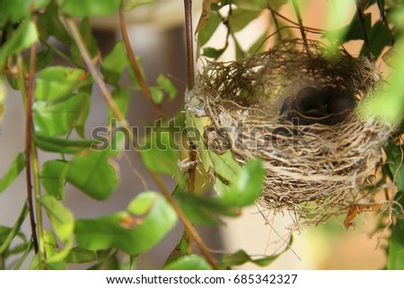 Nest, birds, farm, Merces, Minas Gerais, Brazil.  Foto stock ©