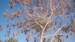 Nest crow on the tree Nest of crows in the yard Bare tree branches on a spring day with blue sky.Crow. Guide of bird nests. Nestling of the crow Crow's nest in a tree