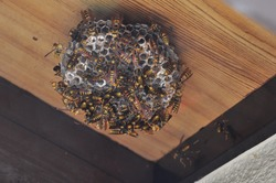 Nest of a paper wasp under the eaves