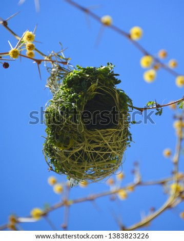 Nest of Lesser masked weaver is a species of bird in the family Ploceidae. It builds its nests in large colonies, often alongside the village weaver and sometimes the red-billed buffalo weaver. .