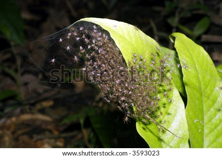nest of newly hatched spiderlings