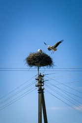 Nest of storks build on the pole of power lines with attached cables. Two birds are seen in the frame: one is sitting in the nest and the second one is flying next to it by holding straws in the beak