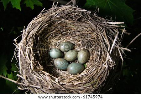 Nest of the fieldfare (Turdus pilaris) with  green eggs.