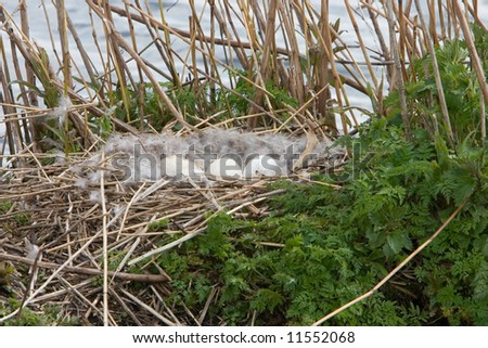 Nest with eggs of a Canada Goose (Eembrugge, the Netherlands)