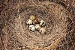 nest with quail eggs.Raw quail eggs / HQ photo of quail eggs in bird nest .quail eggs in a nest of hay close-up. Bird's nest