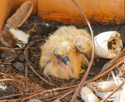 Nest with two juvenile common wood pigeons in orange flowerpot.