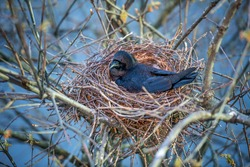 Nesting crow hatching, laying, sitting on the eggs