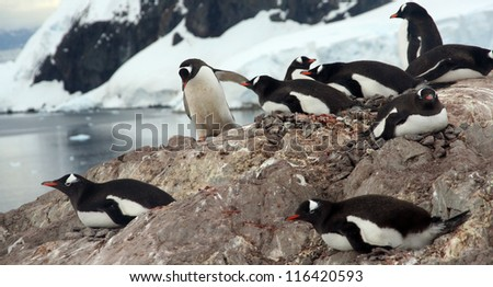 Nesting penguins, Gentoo penguin rookery, with glaciers and mountain n background., 	[Pygoscelis papua]	Neko Harbor, Andvord Bay,	Antarctica