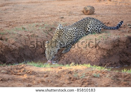 Nestled in the trees, the African Leopard finally came down from his hiding spot in search for a watering hole to quench his thirst.  As fast as he appeared, he disappeared back into the brushes.