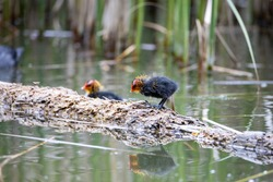 Nestling fulica atra bird stands on a tree log, another nestling swims nearby in the pond. Green reeds are reflected in the water.