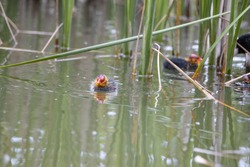Nestling fulica atra birds swim in the pond. Green reeds are reflected in the water.