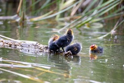 Nestling fulica atra birds swims in a pond among the reeds. Green reeds are reflected in the water.