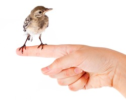 Nestling of bird (wagtail) on hand. Isolated on white