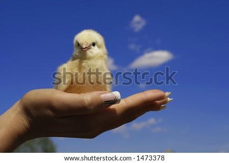nestling on palm - stock photo