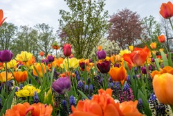 Netherlands,Lisse,Europe, a group of colorful flowers