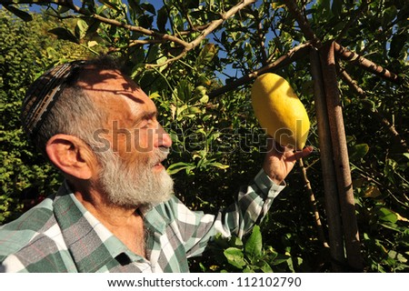 """NETIVOT, ISRAEL - SEPTEMBER  06: Israeli Jewish man checks his Yanover Esrogs in his garden. Its one of the """"Four Species"""" Lulav, Hadass and Aravah, blessed by Jewish people during Sukkoth holiday."""