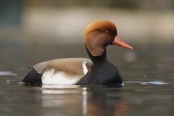 Netta rufina ( Red-crested Pochard )