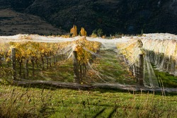 Netting on autumn yellow vines to prevent bird and wind damage, Otago region, South Island of New Zealand