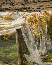 Netting on autumn yellow vines to prevent bird and wind damage, Otago region. Vertical format