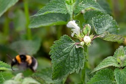 Nettle with blooming white flowers and white tailed bumblebee in motion.