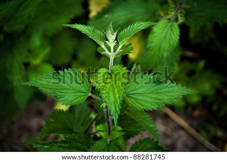 Nettles - dangerous weed and alternative medicine