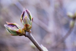 Neutral background of swollen lilac buds. One spring green first sprout. Violet toned