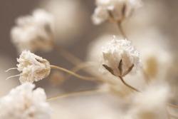 Neutral romantic gypsophila lovely flowers card macro