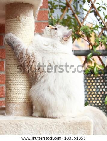 neva masquerade kitten of siberian breed on the scratching post