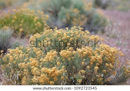 Nevada Flowering Sagebrush