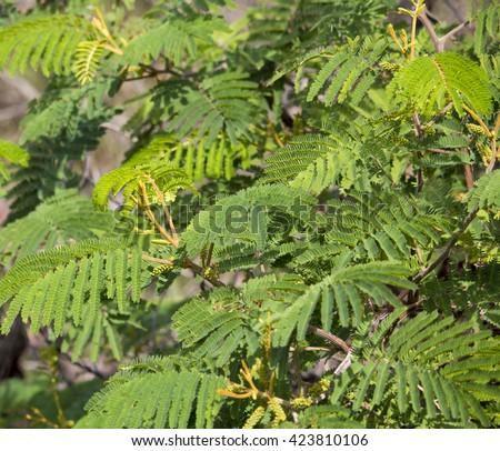 New autumn growth on acacia mearnsii black wattle a fast growing new autumn growth on acacia mearnsii black wattle a fast growing leguminous tree native to mightylinksfo