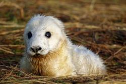 New born Atlantic grey seal pups on the beach
