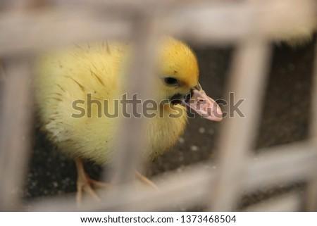 New born baby ducks