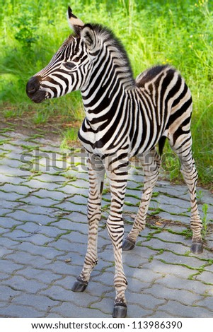 New born baby zebra in zoo