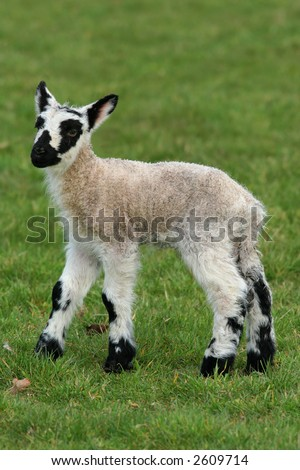 New born black and white speckled lamb standing alone in a field in spring.