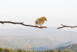new born chick standing on dry tree branch and try to jumping to another side  use for risk and dangerous
