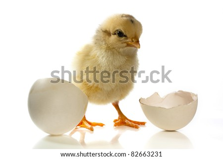 New born chick with egg shell against a white backdrop