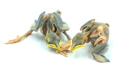 New Born Common myna ( Acridotheres tristis) chicks pair on a white background