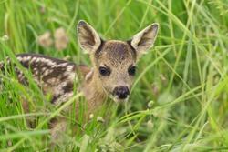 new born deer in the grass. Spring in the nature. Capreolus capreolus. Baby deer.Wildlife scene from nature. Wildlife scene from nature.