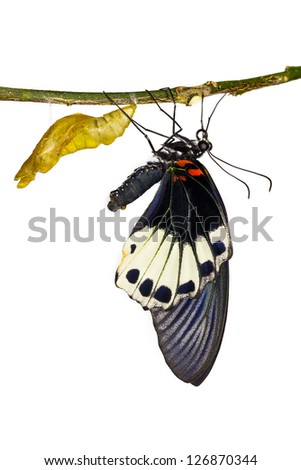 New born female great mormon butterfly hanging near pupa in white background
