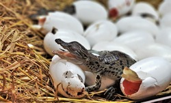 new born freshwater crocodile or crocodile baby are hatching, poke their head out of the egg in hatchery room at crocodile farm. Johnstone's crocodile (Crocodylus johnsoni) is aquatic animals.